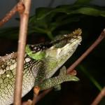 Calumma malthe (male)