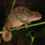 Calumma malthe (female)