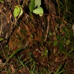 Calumma parsonii cristifer (juvenile male) (Andasibe Mantadia)