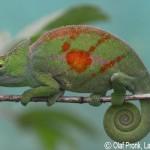 Calumma parsonii cristifer (male)