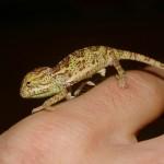 Chamaeleo dilepis (juvenile)
