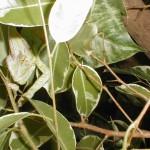 Chamaeleo calyptratus (male)