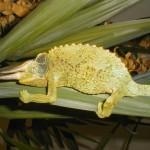 Trioceros jacksonii xsantholophus (male)