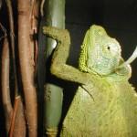 Trioceros jacksonii xsantholophus (female)