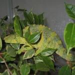 Trioceros melleri (female)