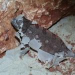 Chamaeleo namaquensis (female)