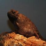 Chamaeleo namaquensis (gravid female)