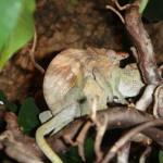 Kinyongia tavetana (mating)