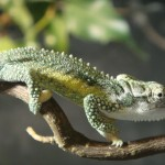 Bradypodion thamnobates (male)