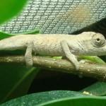 Bradypodion setaroi (juvenile)