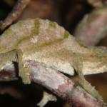 Rhinodigitum nchisiensis (male)
