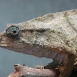 Rhinodigitum nchisiensis (female)