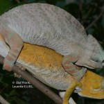 Furcifer balteatus (mating)