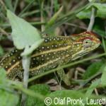 Furcifer campani (female)