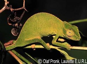 Furcifer cephalolepis (female)