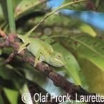 Furcifer labordi (female)