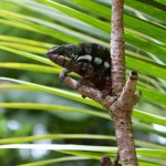 Furcifer pardalis (Ampananary) (male)