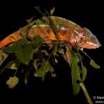 Furcifer pardalis (Toamasina (Tamatave) city other river side) (male)