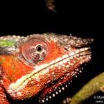Furcifer pardalis (Toamasina (Tamatave) city) (male)