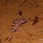 Furcifer pardalis (Nosy Mangabe) (female)