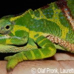 Furcifer timoni (gravid female)