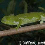 Furcifer viridis (male)