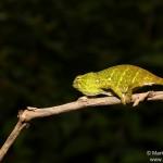 Furcifer willsii (female) (Andasibe Mantadia)