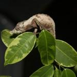 Rhinodigitum spinosus