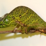 Furcifer willsii (female)