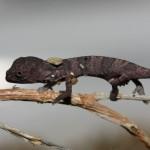 Kinyongia tenuis (juvenile)
