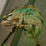 Bradypodion damaranum (male)