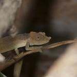 Kinyongia tenuis (male)