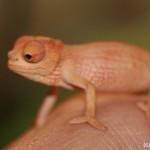 Kinyongia boehmei (juvenile) (female)