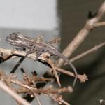 Trioceros bitaeniatus (juvenile)