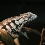 Trioceros bitaeniatus (gravid female)