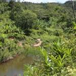 Verbreitungsgebiet von Yellow Giants in einer Plantage südlich von Andasibe Mantadia